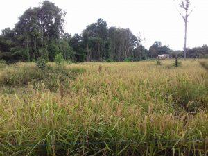 Sawah Komunitas Payang